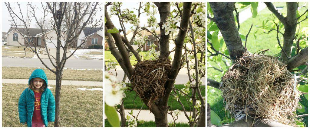 Building a robin's nest
